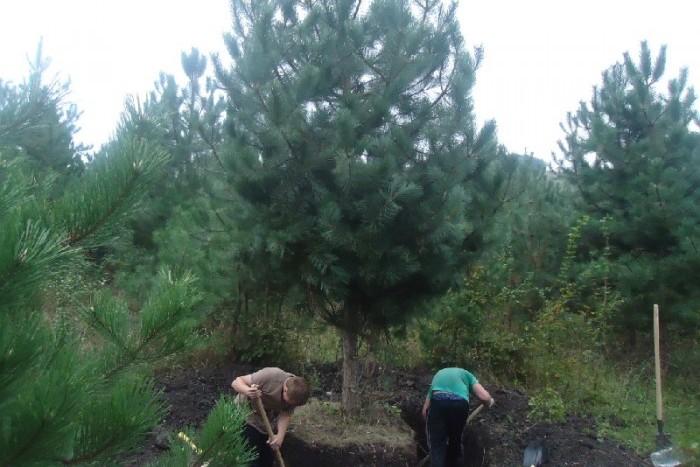 """В ЖК """"GreenЛандия"""" пересадили деревья со стройплощадки ЖК """"Полюстрово парк"""""""